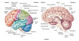 Integrative-Centers-Brain and Brain Divisions